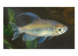 CONGO TETRA MALE - Click for more info