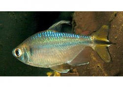 YELLOW TAIL CONGO TETRA - Click for more info
