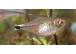 HEAD & TAIL LIGHT TETRA - Click for more info