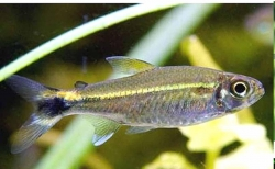JANUARY TETRA - Click for more info