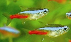 NEON TETRA - Click for more info