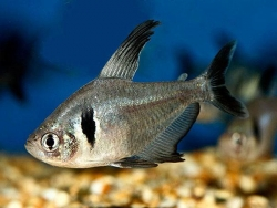 BLACK PHANTOM TETRA - Click for more info