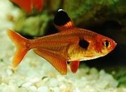 RED PHANTOM TETRA - Click for more info