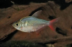 RED BLUE COLOMBIAN TETRA - Click for more info