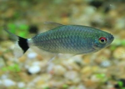 RED EYE TETRA (LAMPEYE) - Click for more info