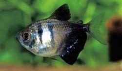 BLACK WIDOW TETRA - Click for more info